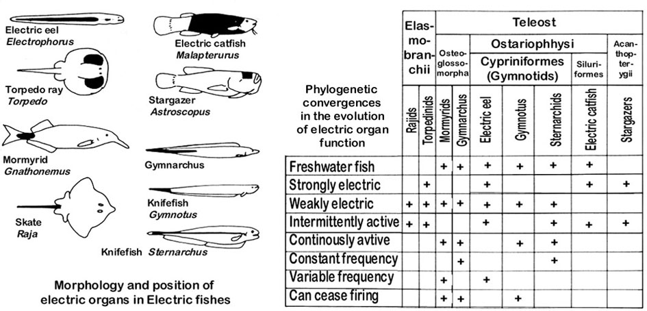 Chondrichthyes Electric Ray Torpedo Eod Electric Organ Discharge